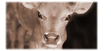cucciolo di mucca di 2 mesi
